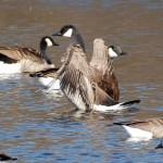 Geese at Wirth Park