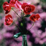 Ethiopian Roses against Bougainvellia