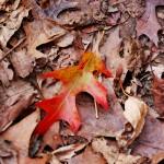 Colorful Oak Leaf
