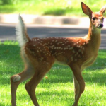 Fawn on Lawn