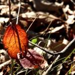 sunlight thru leaf